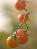 Close-up of Ripe Red Cherry Tomatoes Growing on a Vine