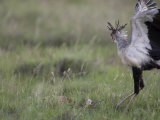 Secretary Bird Hunting a Puff Adder in the Grass