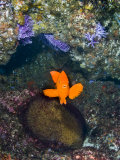 Male Garibaldi  Hypsypops Rubicundus  Protecting a Nest with Eggs
