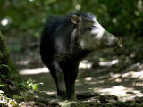 White-Lipped Peccary Walking in Forest