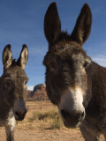 Donkeys Peer at the Camera in a Desert Scene