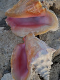 Close View of Two Conch Shells Sitting on Rocks