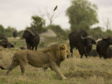 Lion Walking Past a Herd of African Buffalo