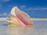 Queen Conch Shell in Shallow Water on a Sandbar in the Florida Keys