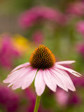 Single Cone Flower (Echinacea Purpurea) Stands Out in a Garden