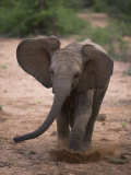 Juvenile Elephant on the Move in Samburu National Park