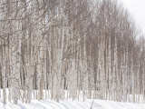 Glade of White Birch Trees in Daisetsuzan National Park