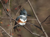 Female Belted Kingfisher Perched on a Branch over Water