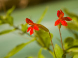 Cardinal or Scarlet Monkeyflowers  Mimulus Cardinalis