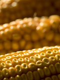 Close-up of Ears of Corn