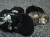 Husky Puppies Curled Up Sleeping