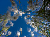Stand of Cotton Grass  Seen from Below