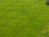 Aerial of Lush Green Tea Fields in Kenya