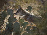 Coyote in an Enclosure at the Arizona-Sonora Desert Museum