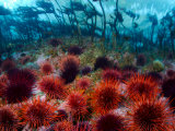 Red Sea Urchins Below the Intertidal Zone
