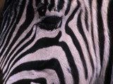 Detail of a Plains Zebra's Face