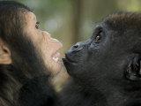 Baby Gorilla and a Chimpanzee Papier Photo par Michael Polzia