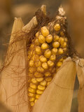 Close-up of an Ear of Corn Ready for Harvest