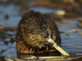 Muskrat Feeding in the Water a Muskrat (Ondatra Zibethicus) Feeding at Sunset
