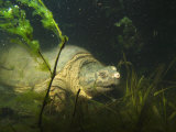 Common Snapping Turtle  Chelydra Serpentina  Foraging in Vernal Pool