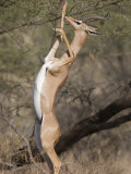 Gerenuk Feeding Standing on Hind Legs