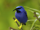 Male Purple Honeycreeper Perched on a Branch