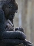 Portrait of Gorilla Mother Looking at Her New Born Baby Papier Photo par Karine Aigner