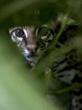 Ocelot Peering Through Leaves