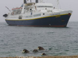 Atlantic Walrus Swimming Near Ng Endeavour Tourist Ship