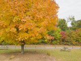 Sugar Maple Tree in Bright Autumn Hues of Orange and Yellow