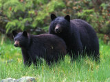 Black Bear and Her Cub in a Grassy Meadow