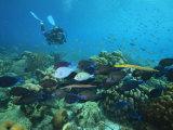 Diver Watching Blue Tangs  Doctorfish  Ocean Surgeonfish in a Reef