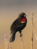 Male Red-Winged Blackbird  Agelaius Phoenicus Perched on a Branch