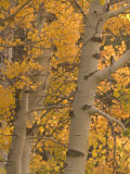 Quaking Aspen Trees in the Fall in Stanislaus National Forest