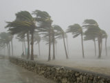 Palm Trees Blasted by Winds over 100 Mph During Hurricane Wilma