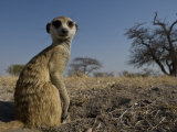 Meerkat (Suricatta Suricatta) Sitting Up
