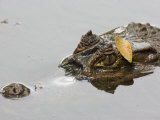 Spectacled Caiman with Head Just Above the Water's Surface