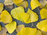 Cottonwood Leaves Lay on a River Beach