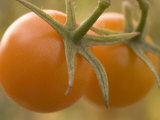 Close-up of Ripe Red Cherry Tomatoes
