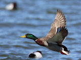 Male Mallard Duck  Anas Platyrhyncho  in Flight over Water