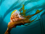 Lion's Mane Jellyfish Nestled in a Kelp Frond