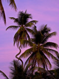 Strangely Curved Palm Tree in Front of a Purple Sunset