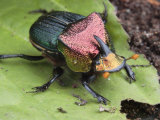 Metallic Colored Male Dung Beetle with Horn on its Head
