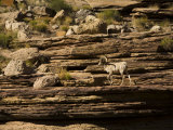 Desert Bighorn Sheep on the Banks of the Colorado River