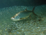 Tarpon  Megalops Atlanticus  Hunting for Prey Near Reef Silversides