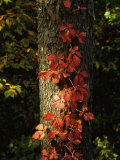 Virginia Creeper Vine in Autumn Colors  Climbing a Tree Trunk