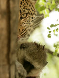 Leopard (Panthera Pardus) with Kill