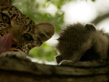 Leopard (Panthera Pardus) in Tree with Kill