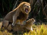 African Lions  Panthera Leo  Mating