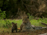 Leopard (Panthera Pardus) Mother and Cub